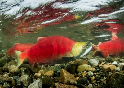 adams river sockeye salmon