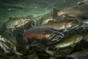 Coho Salmon in the Quinsam River mixed in with a few pink salmon.
