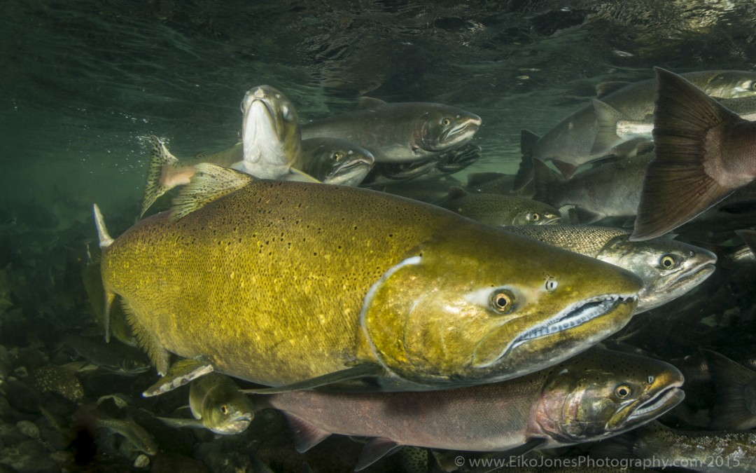 Male Chinook Salmon in the Quinsam River near Campbell River on Vancouver Island.