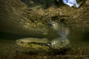 Chum Salmon in a small stream on Quadra Island.