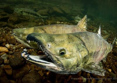 campbell river chum salmon underwater