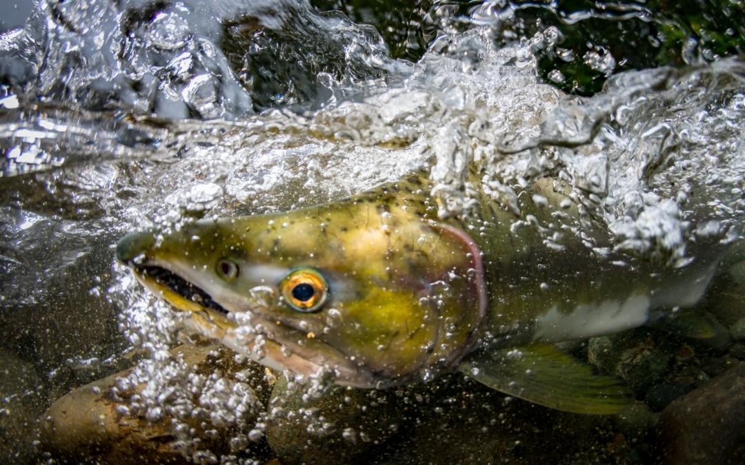 2015 Salmon Top Ten