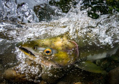 pink salmon fighting upstream
