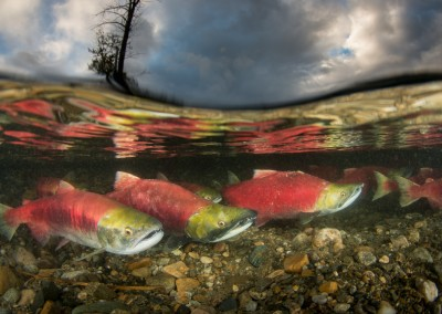 Sockeye Salmon Reflections