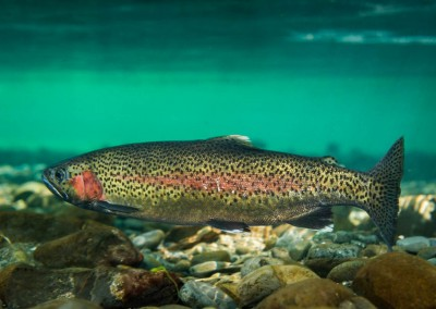 rainbow trout underwater picture