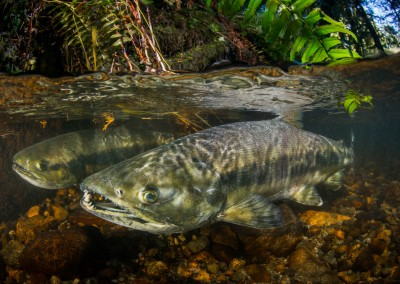 Pair of Chum Salmon