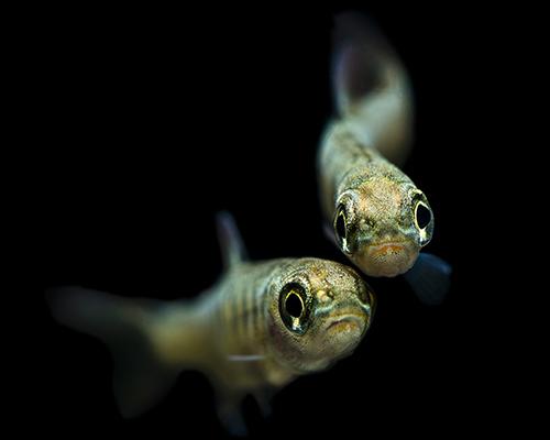 coho salmon fry duo