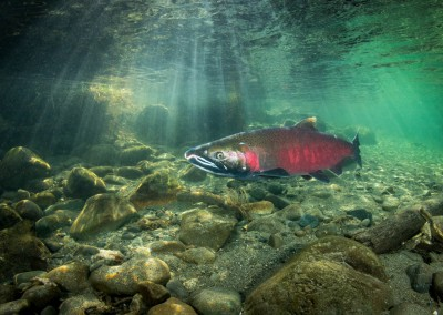Male Coho Salmon in the Quinsam River