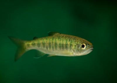coho salmon heber river