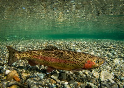cervice creek rainbow trout
