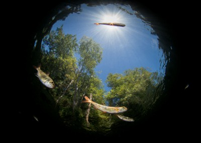 Fish eye view of small Coho Salmon