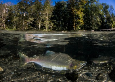humpy salmon underwater reflection