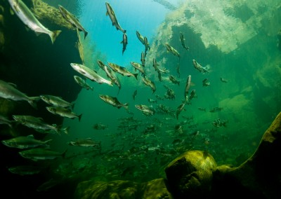 underwater photo pink salmon in campbell river canyon