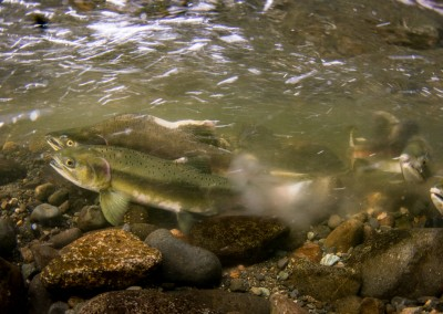 pink salmon in the act of spawning