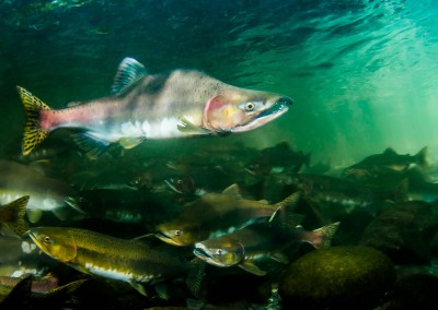 pink salmon spawning run