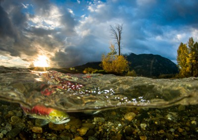sockeye salmon morning run