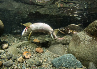 salmon oncorhynchus gorbuscha digging redd