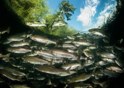 school of pink salmon in Campbell river