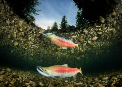 sockeye salmon transition