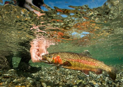 rainbow trout release underwater