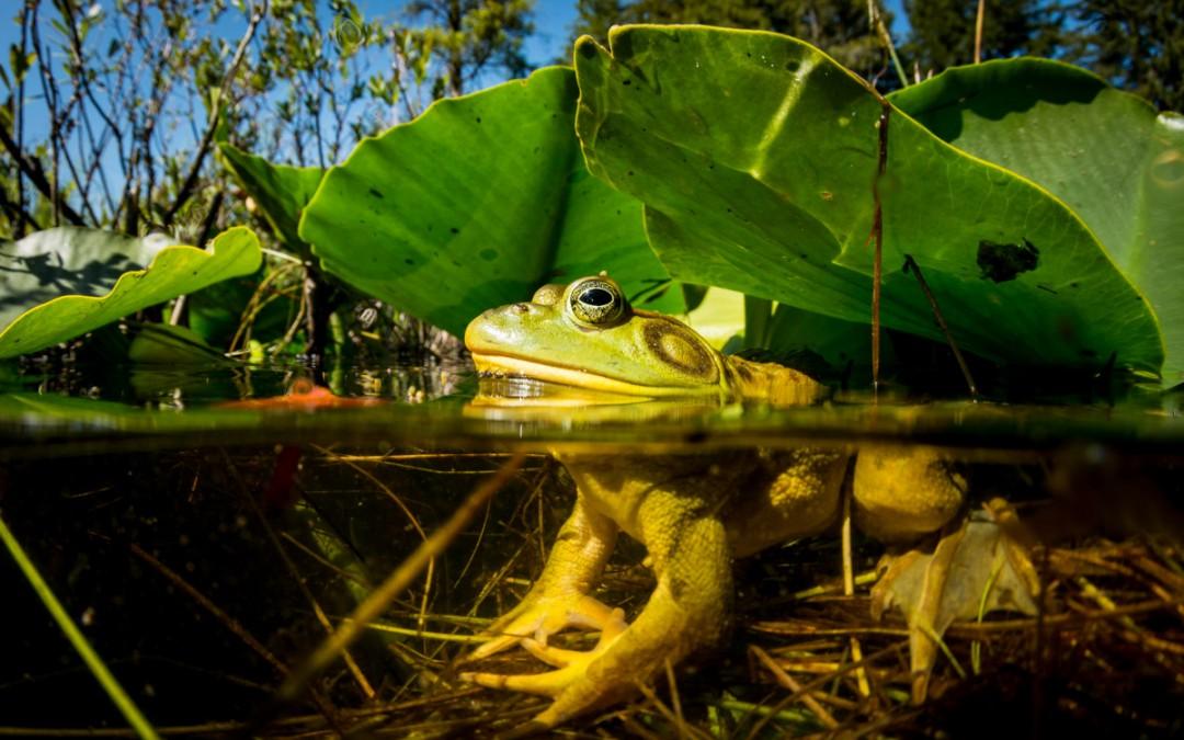 Bullfrog Invasion
