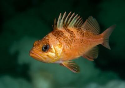 juvenile quillback rockfish
