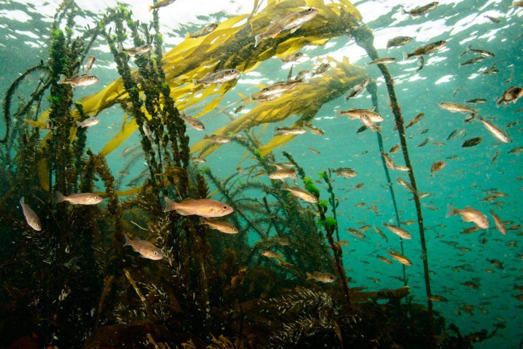 juvenile-rockfish-in-browning-pass