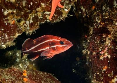 young-yelloweye-rockfish-sebastes-ruberrimus-in-cave