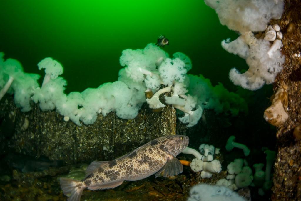 large lingcod on capilano shipwreck