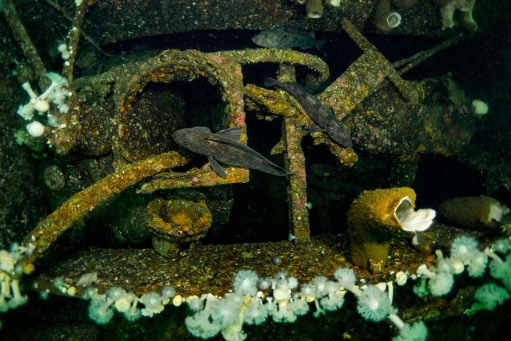 lingcod resting on wreck