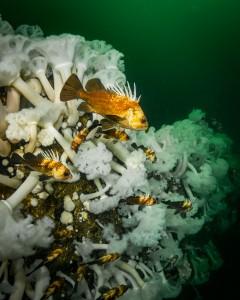 quillback rockfish on capilano wreck