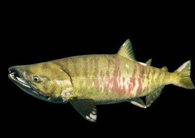 male chum salmon in campbell river