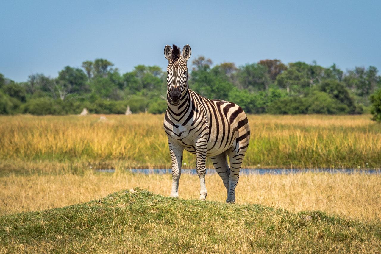 Burchells zebra looking out for danger in the grasslands of the Okavango Delta, Botswana
