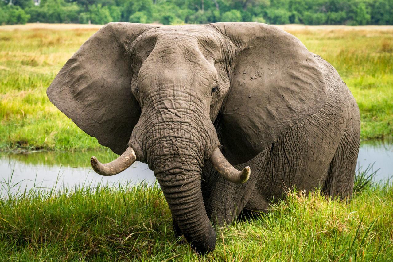 Feeding elephant on the bank of the Khwai River in the Okavango Delta