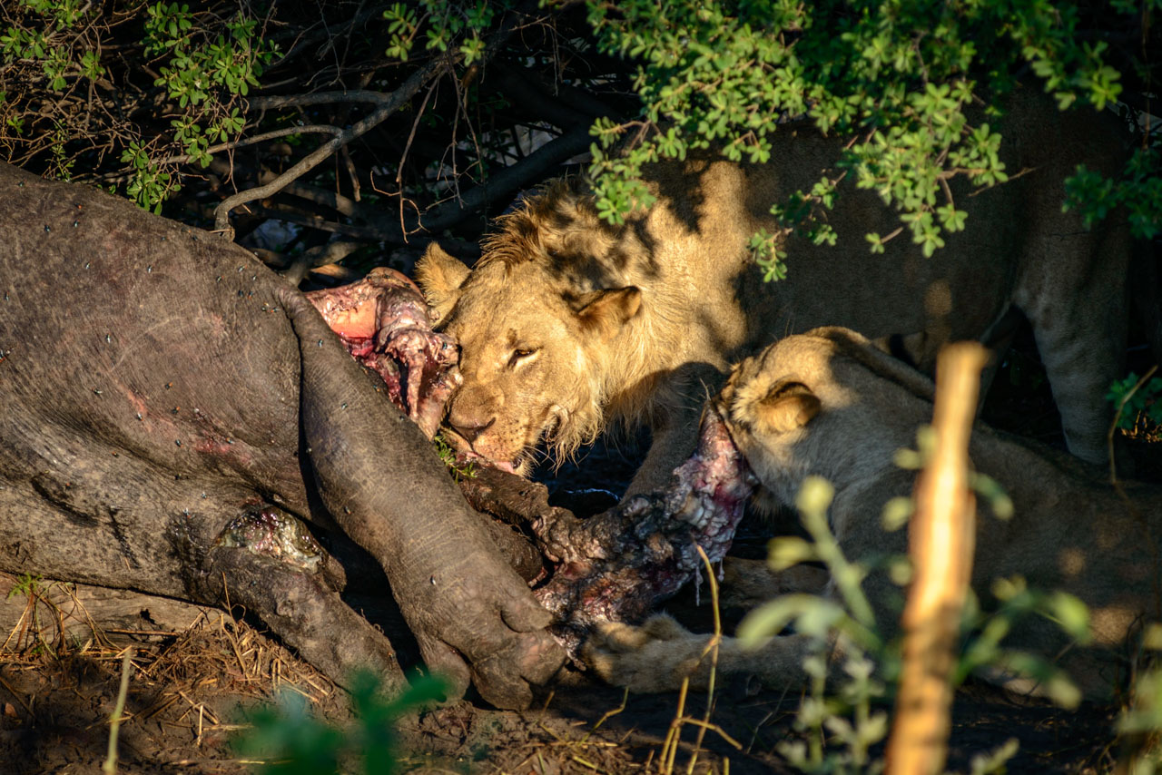 Lions feeding on the decaying carcass of a Hippo