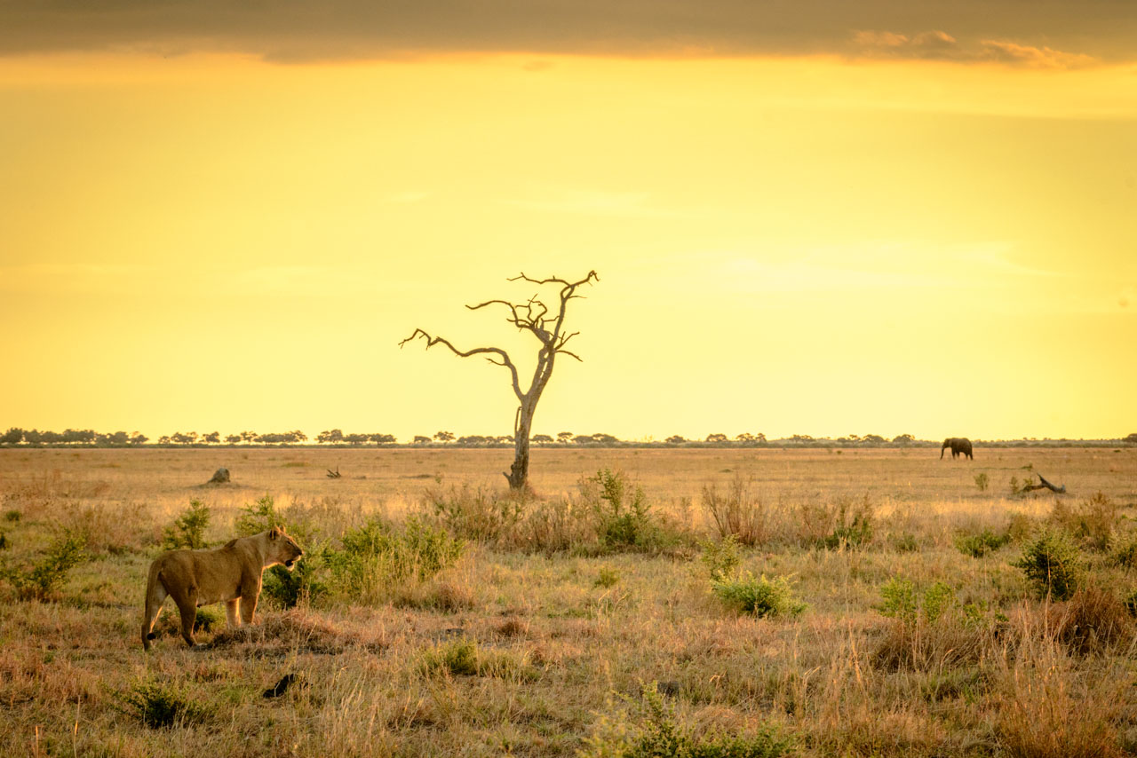 lion watching elephant in sunset