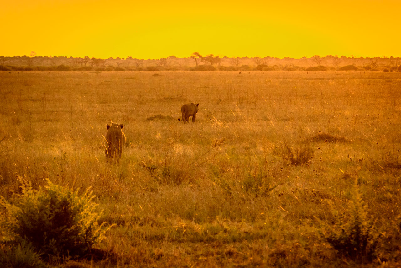 lion cubs heading into sunset