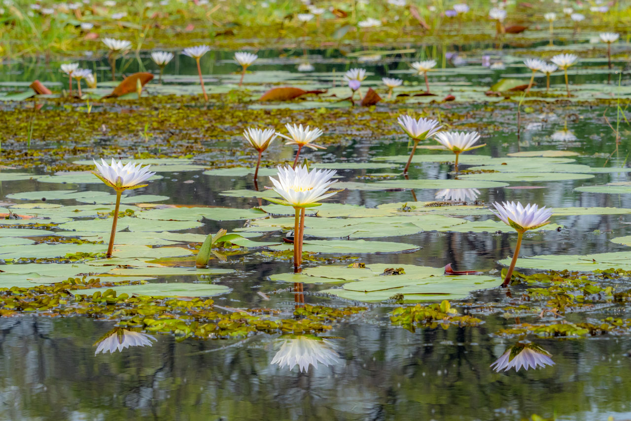 Okavango day lilies in the Khwai River.