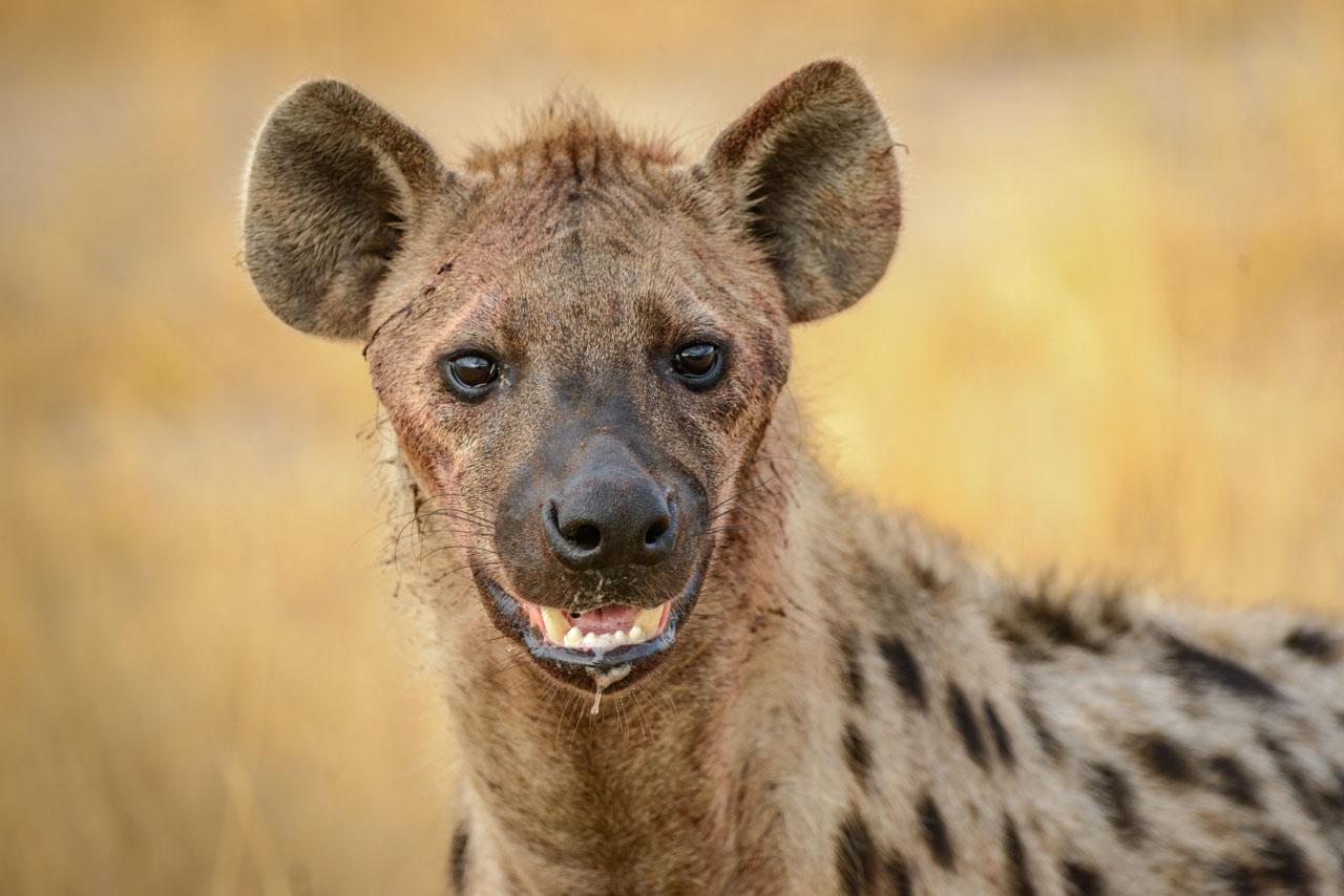 Spotted Hyena in Savuti Marsh, Northern Botswana, Africa
