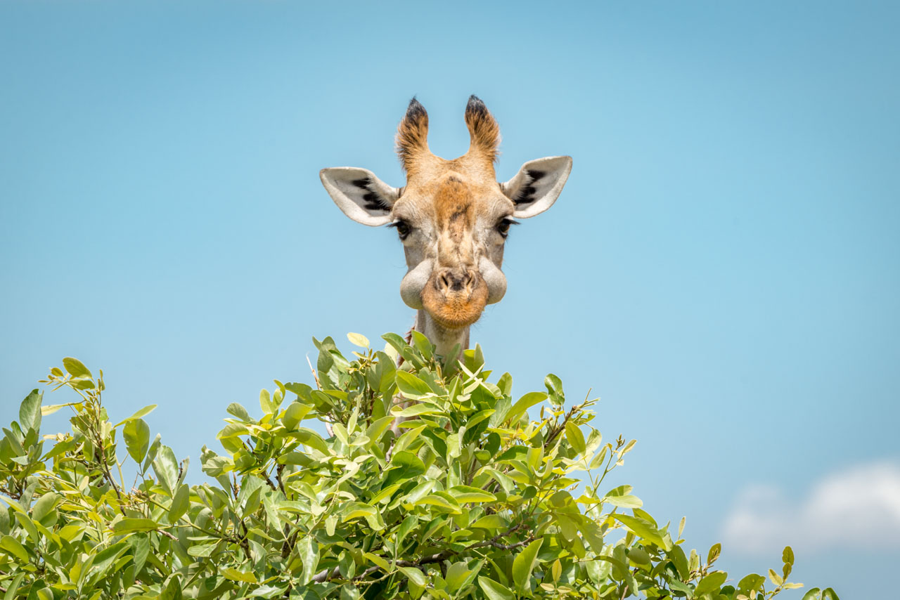 A Giraffe with his face stuffed of Apple Leaf tree leaves.