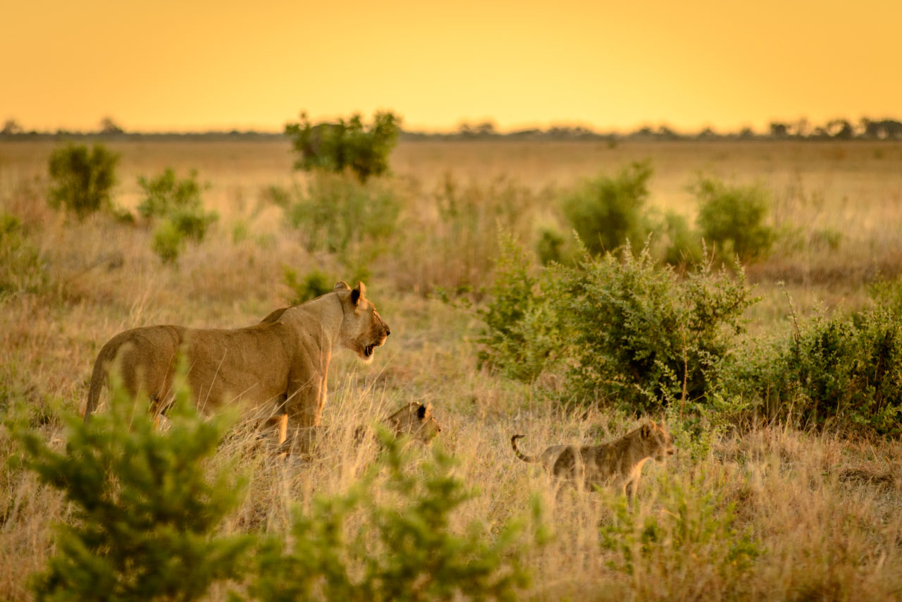 lioness and cubs in sunset
