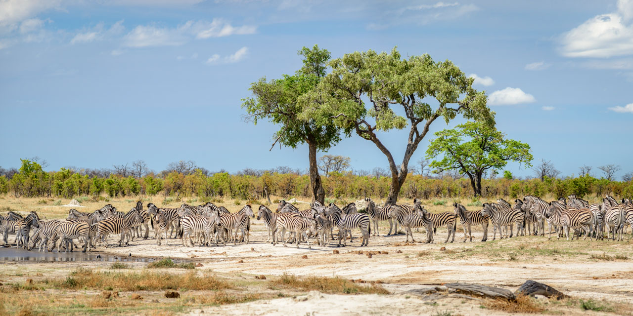 zebra congregating at watering hole in savuti, botswana
