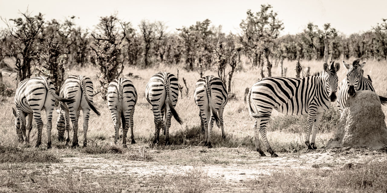 Line up of Zebra Butts and faces.