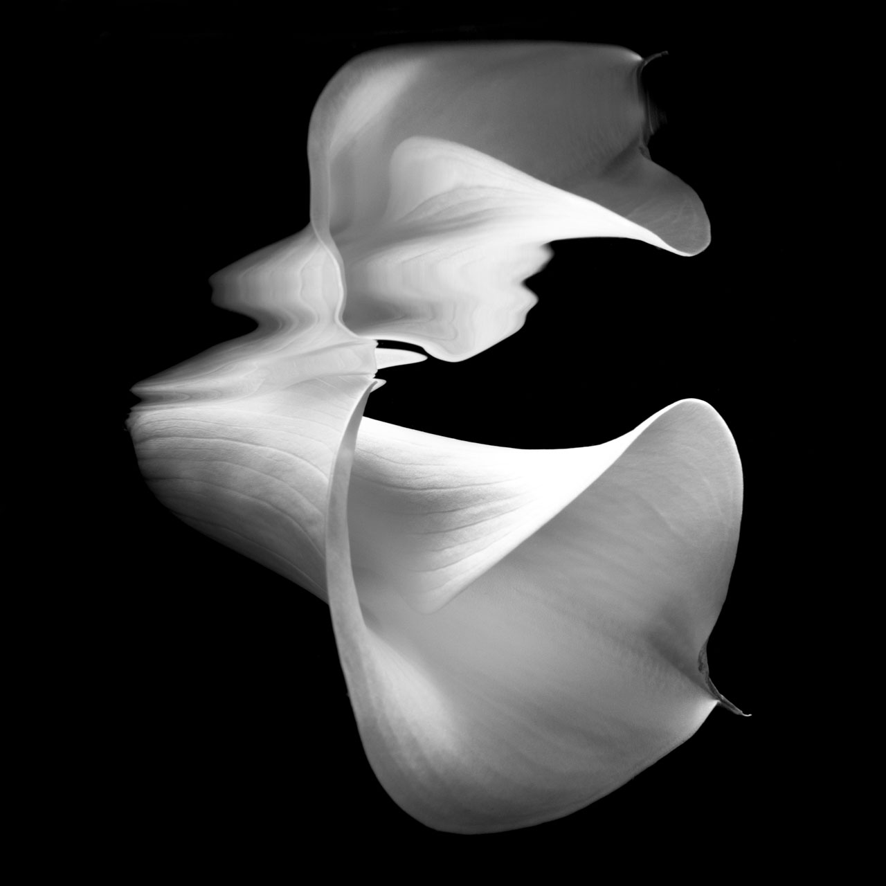 Fine art image of a white Cala lily reflecting underwater
