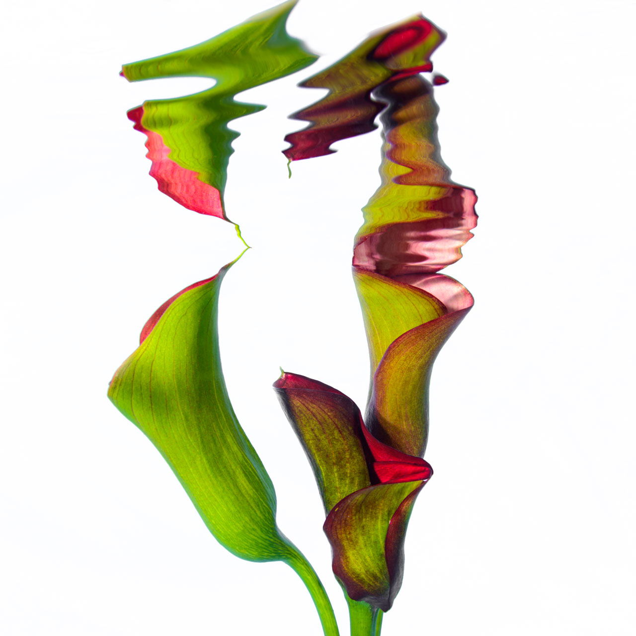 Abstract image of Cala Lilies taken underwater