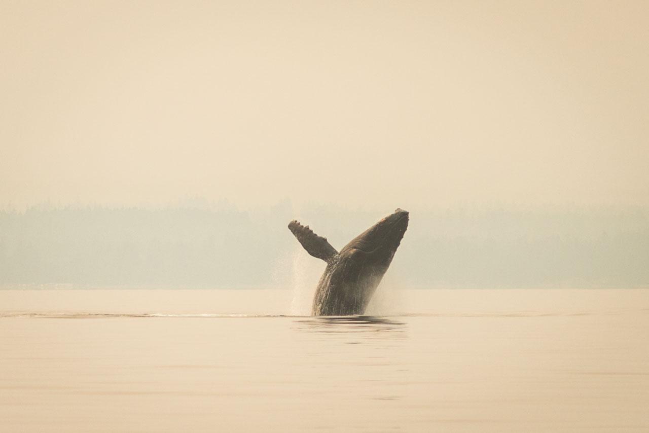 breaching humpback whale in georgia strait.
