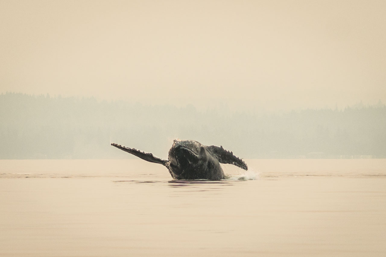 pectoral roll breaching humpback whale