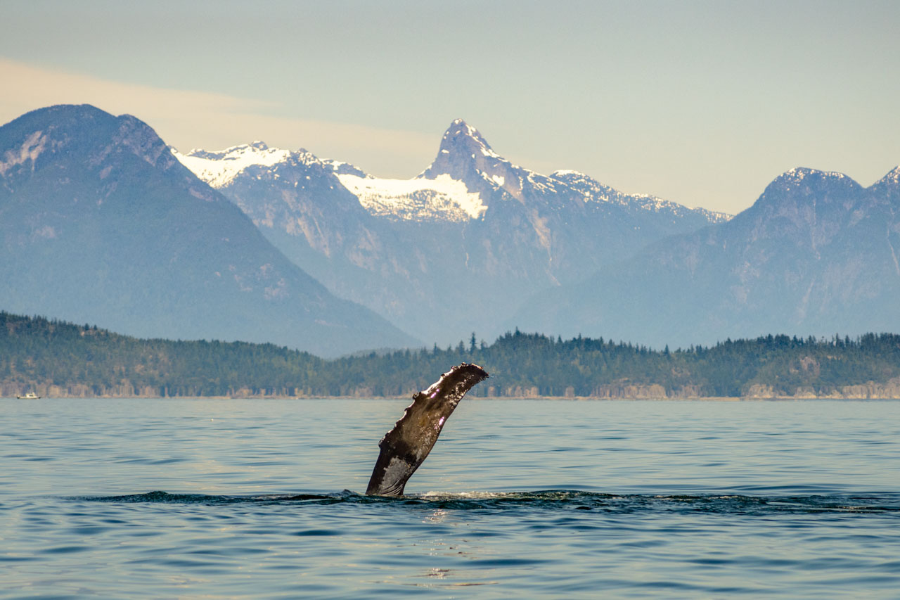 Humpback pectoral fin against a backdrop of the Coast Maintains near Campbell River