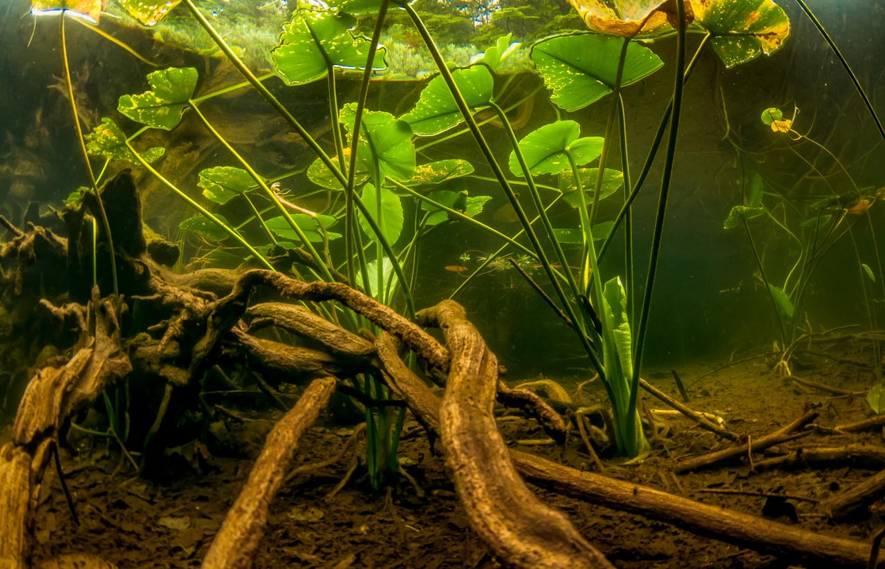 Logs and Lilies underwater in Cedar Lake