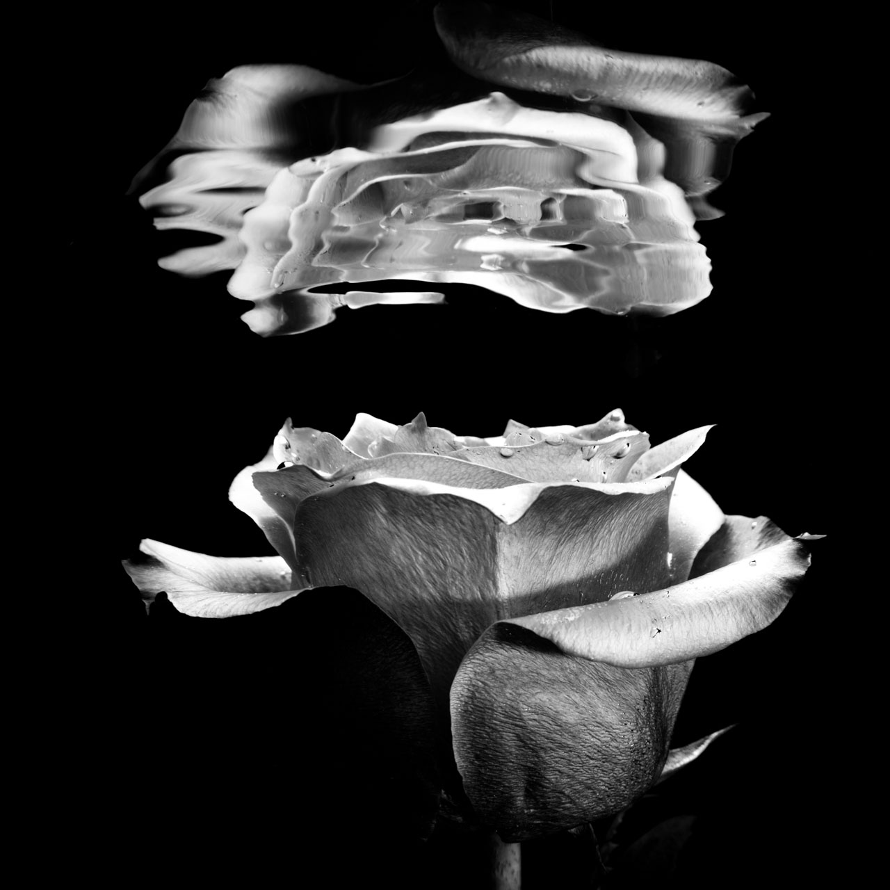 Monochrome image of a rose relecting underwater